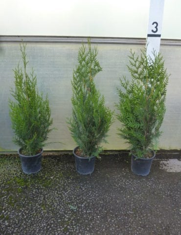 thuja hedging plants