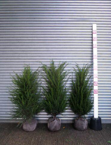 Yew hedge plants