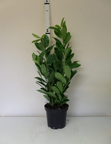 2ft laurel hedge