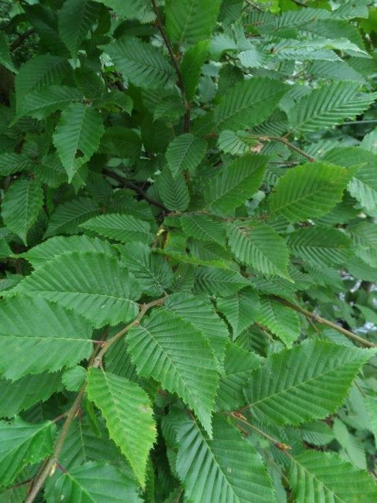 hornbeam hedge plants