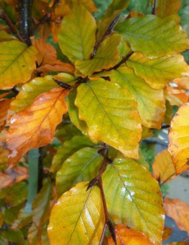 bare root beech hedging