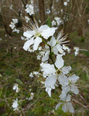 Blackthorn Flowers in March