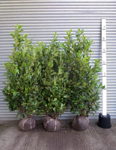 Root Balled Laurel