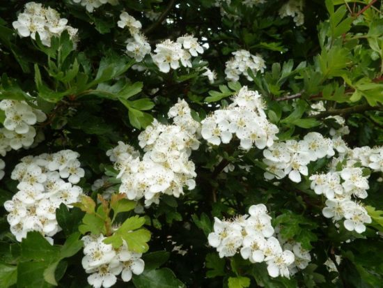 Bare-root Hawthorn hedging