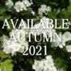 Hawthorn hedging