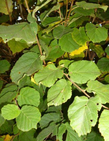Hazel hedging