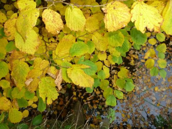 Hazel. Autumn colour