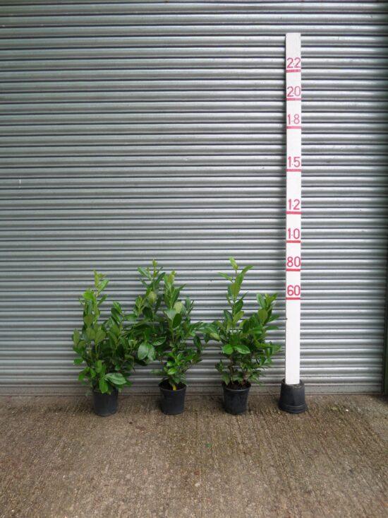 small laurel hedge