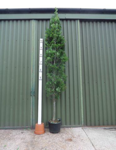 upright oak