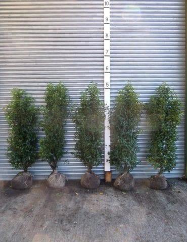 Portuguese Laurel hedging