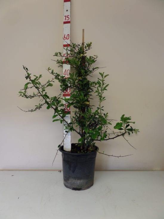 Pyracantha hedge