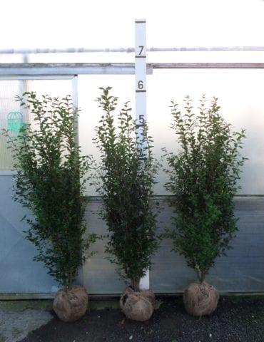 6ft Privet hedge