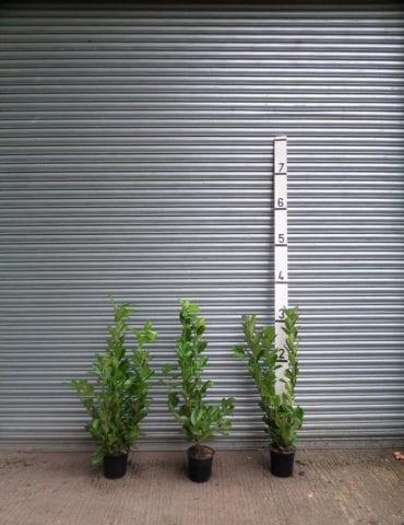 3ft laurel hedge