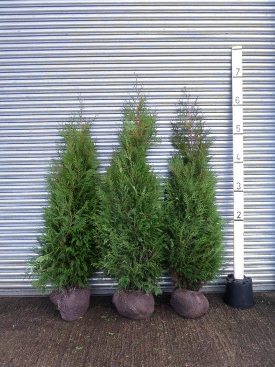large thuja hedge
