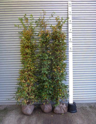 Instant Hornbeam Hedge