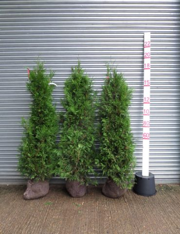 large thuja hedge