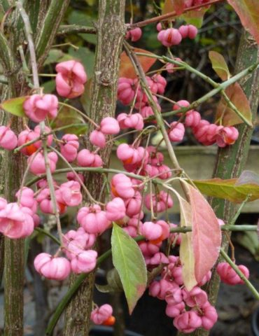 Spindle Hedging