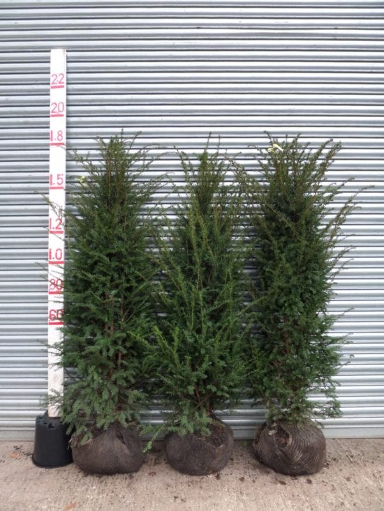 Root balled Yew hedging