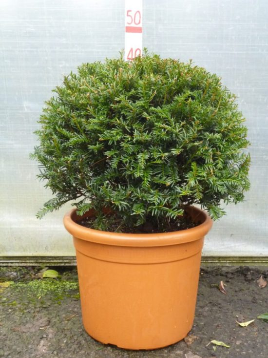 topiary yew ball