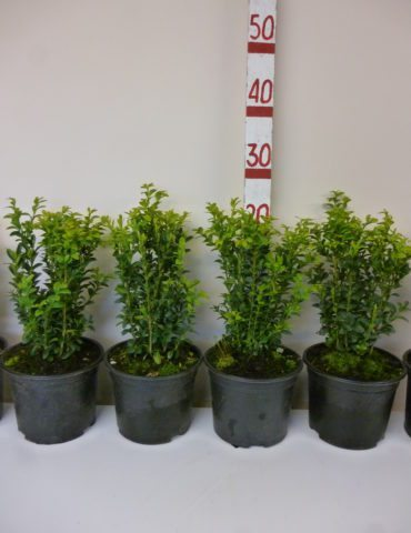 box buxus sempervirens hedging