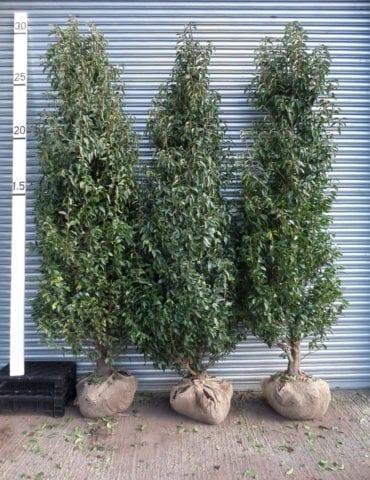 Root balled Portuguese Laurel