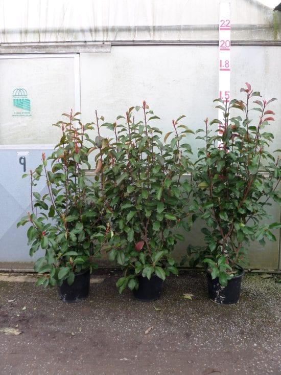 Photinia Red Robin hedging