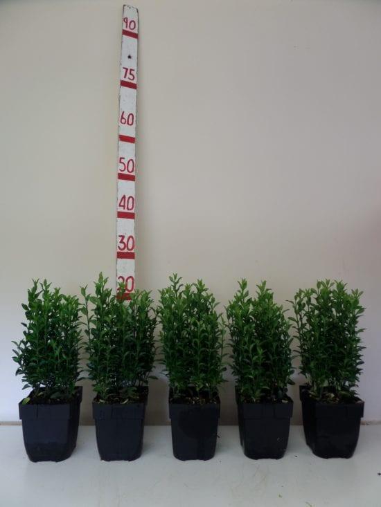 Euonymus Green Spire