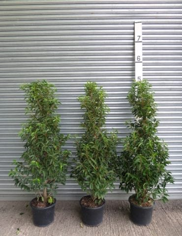 5ft portuguese laurel hedge