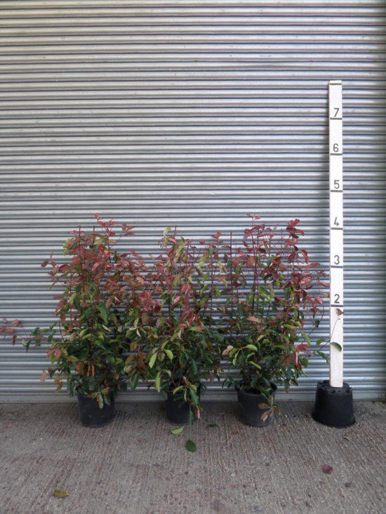 Photinia Red Robin hedging plants