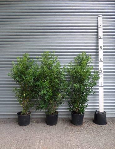 5ft portuguese laurel hedge
