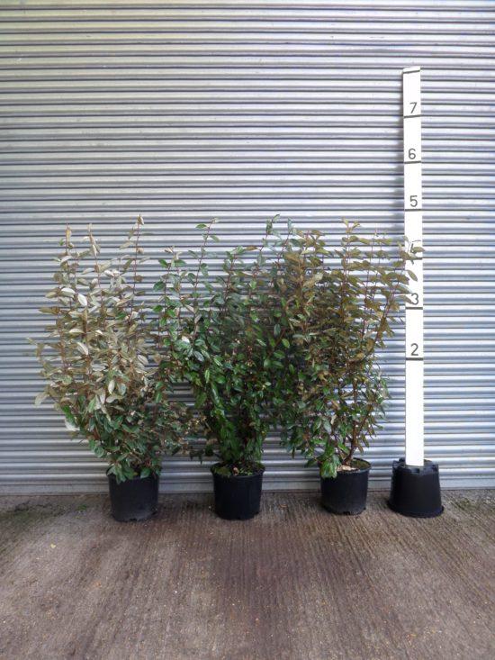 Elaeagnus hedging