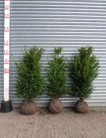 root balled yew hedge