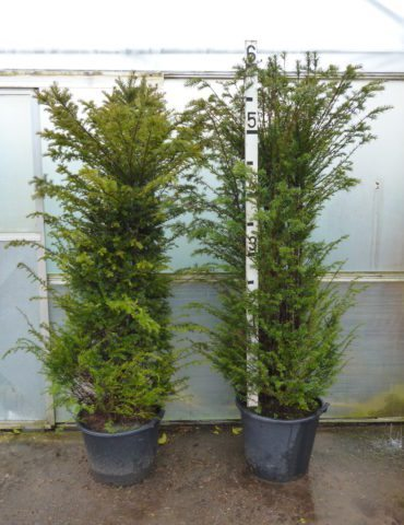 Tall yew hedging in pots
