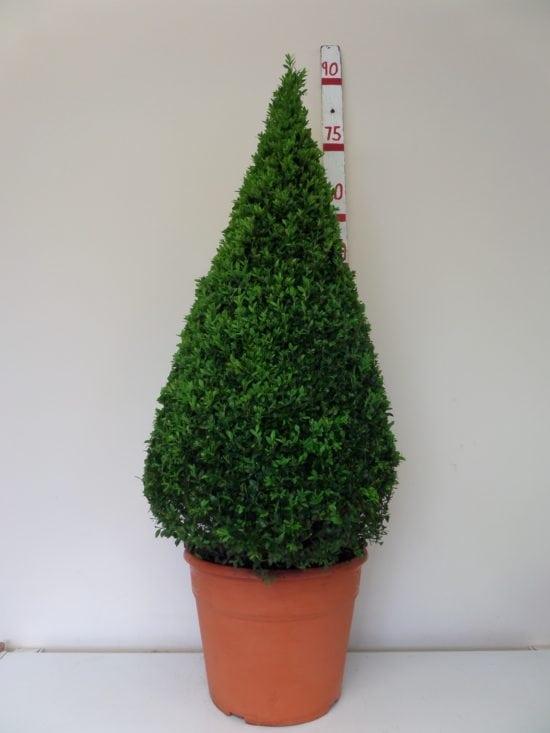 topiary box cone