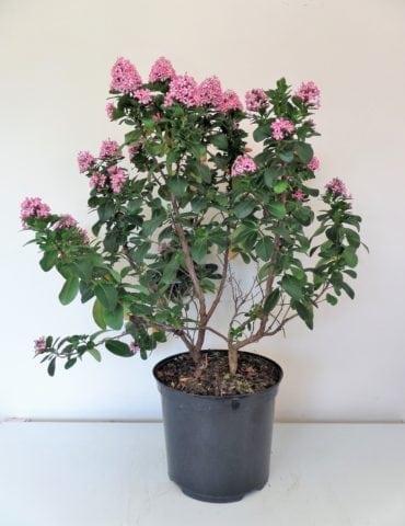 escallonia pink elle