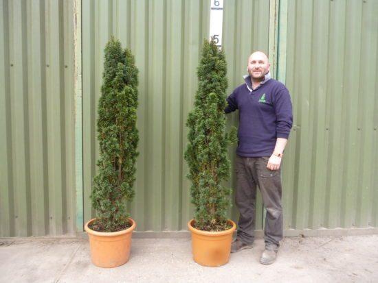 upright yew
