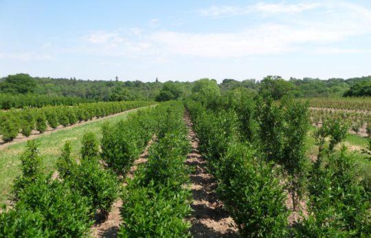 hedges online nursery