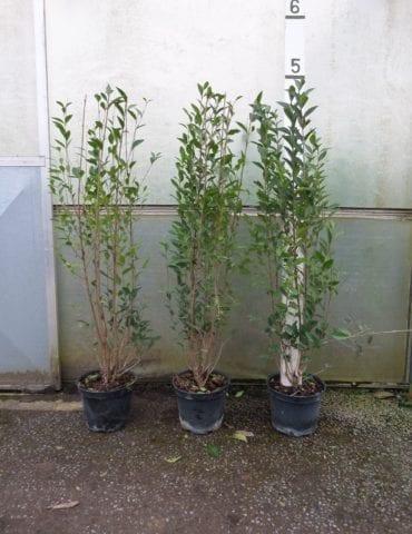 5ft Privet Hedge