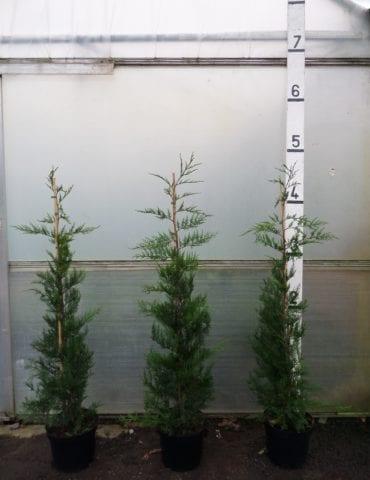 5ft Leylandii Hedge