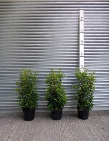 Portuguese Laurel hedges