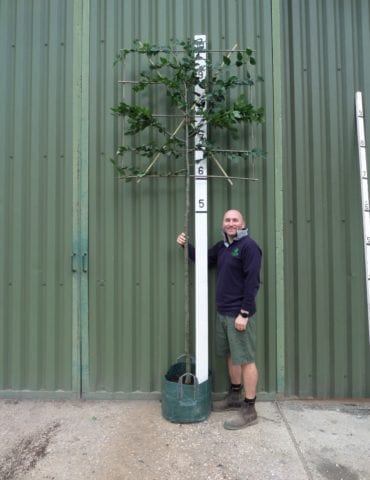 Pleached hornbeam
