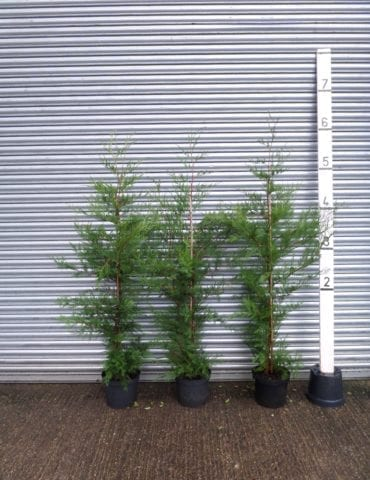 5ft Leylandii Hedge