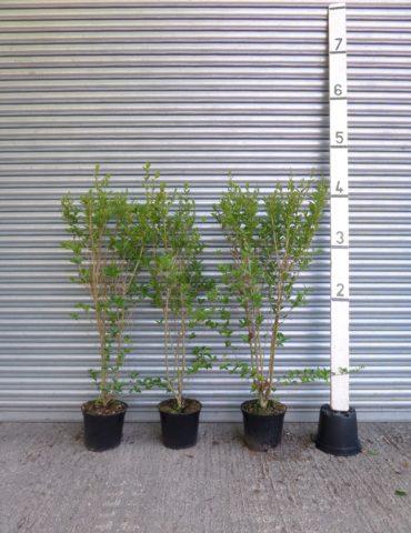 Privet Hedge
