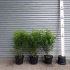 Portuguese Laurel hedges