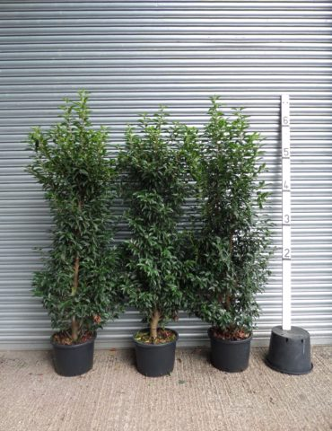 6ft portuguese laurel hedge