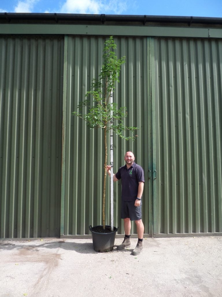 Field Maple Trees Trees And Hedging Direct From The Grower At