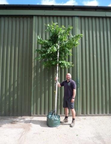 hornbeam standard tree