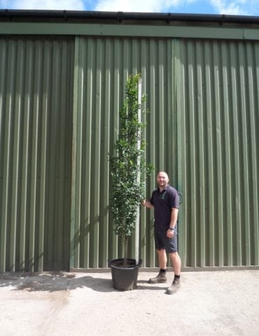 upright hornbeam