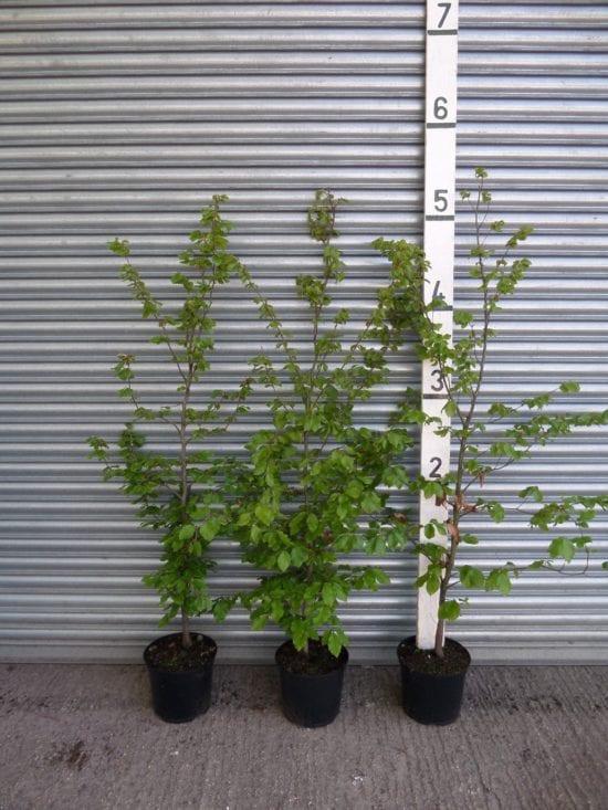 5ft beech hedge