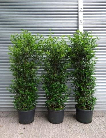 large portuguese laurel